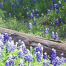 Bluebonnets grow everywhere! by icesrun