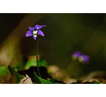 violets are blue Photographic Print