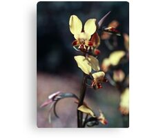 198208140013 Egg and Bacon (Diuris Brumalis Orchid) Julimar State Forest WA Canvas Print