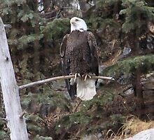 Bald Eagle 3 by Santa Tom Kliner