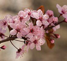 Pink Spring by ElyseFradkin