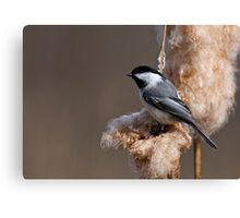 Black Capped Chickadee on Cattail Fluff - Ottawa, Ontario Canvas Print