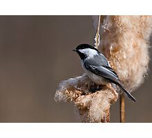Black Capped Chickadee on Cattail Fluff - Ottawa, Ontario Photographic Print