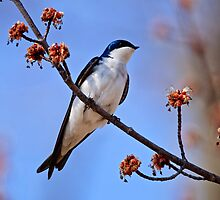 Tree Swallow on Red Maple Branch - Ottawa Ontario by Michael Cummings