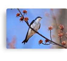 Tree Swallow on Red Maple Branch - Ottawa Ontario Metal Print