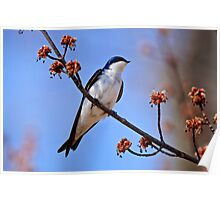 Tree Swallow on Red Maple Branch - Ottawa Ontario Poster