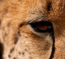 Cheetah Eye, Close Up by Tom Grieve