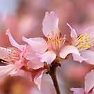 Pink Blossoms by Lisawv