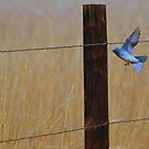 Mountain Bluebird by Barb Miller