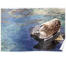 seal out of water Poster