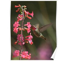 Male Anna's Hummingbird in Courtship Colors Poster
