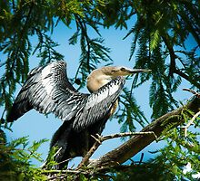 Female Anhinga by Photography by TJ Baccari