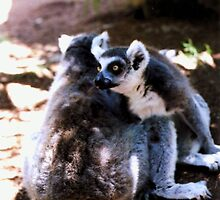 Ringtailed Lemurs (Tongue Sticking Out) by Michelle Miller