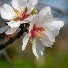 Almond tree by Anelgim