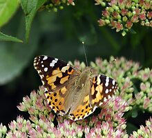 Painted Lady  by Chris Monks