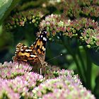 Painted Lady II by Chris Monks