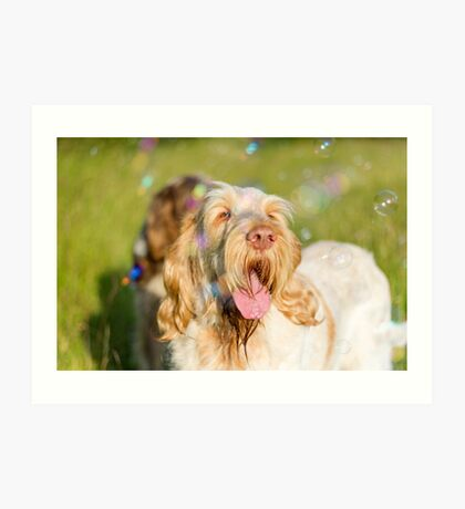 Orange and White Italian Spinone Dog Head Shot with Bubbles Art Print