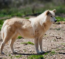 Arctic Wolf  by Jean-Pierre Ducondi