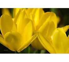 Yellow Tulip Flowers Photographic Print