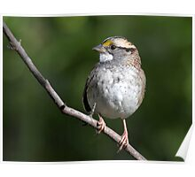 Song Master / White Throated Sparrow Poster