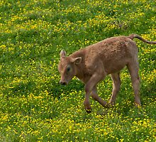 Playful Calf in Spring by Bonnie T.  Barry