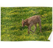 Playful Calf in Spring Poster