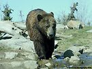 Grizzly Bear Getting Ready to Swim by Barberelli
