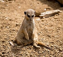 Sad Meerkat by Scott Lyons