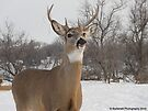Handsome Buck in Wintertime in Minnesota. by Barberelli