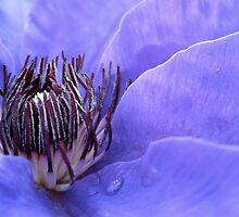 Clematis in the Summer by kimmer19