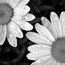 Shasta Daisies after the rain by kimmer19