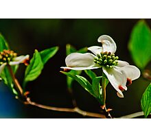 Dogwood Photographic Print