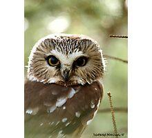Saw Whet Owl Photographic Print