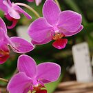 orchid #15 by robert murray