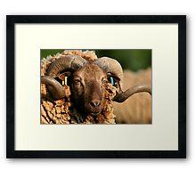 Manx Ram Framed Print