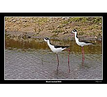 Black necked stilts in water Photographic Print