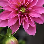 Dahlia With Dew In Pink by Deborah  Benoit