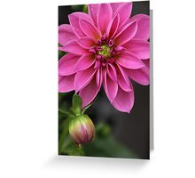 Dahlia With Dew In Pink Greeting Card