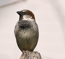 House Sparrow by KathleenRinker