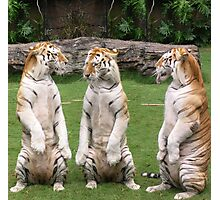 Three Tigers Photographic Print