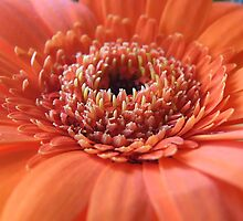 Orange Beauty (Super Macro) by Bernie Stronner