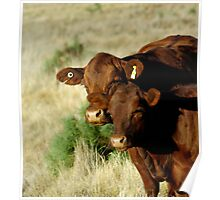 RED ANGUS LADIES Poster