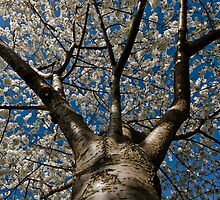 Cherry Blossoms  by Josh Myers