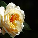Yellow Rose by shane22