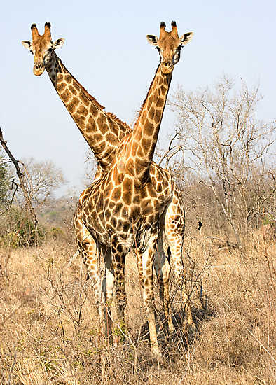 Rare Two Headed Giraffe by Michael  Moss