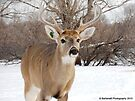 Bold Buck by Barberelli