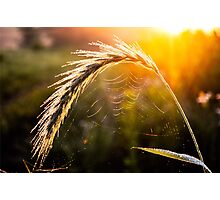 Grass Web Photographic Print