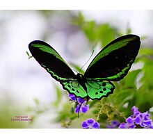 Male Cairns Birdwing Photographic Print