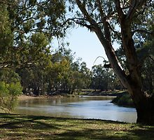 River Gums On The Murray River by pitspics