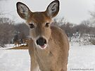Friendly Young Doe in the Wilderness  by Barberelli